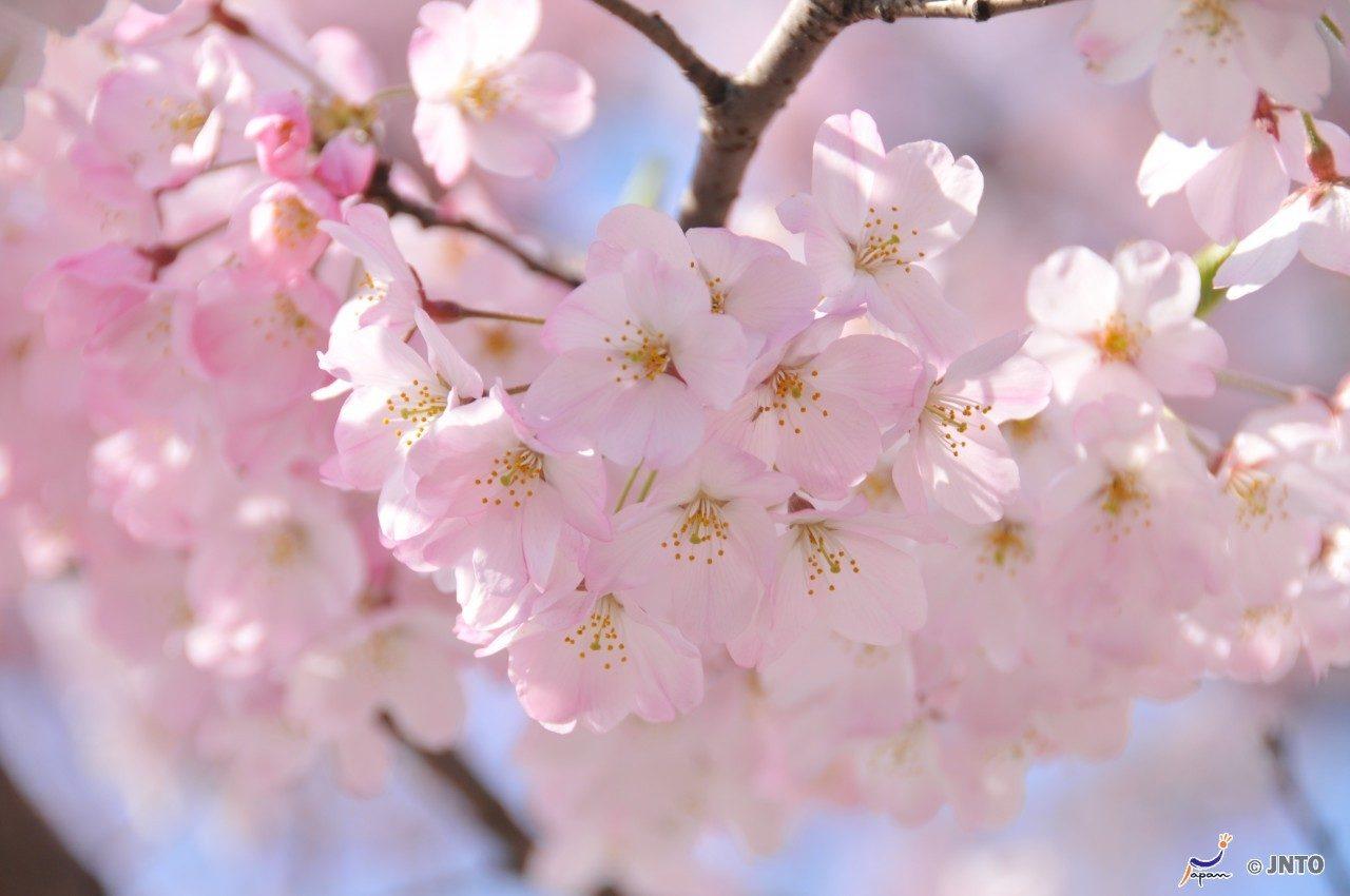 Sakura+Matsuri+Cherry+Blossom+Festival